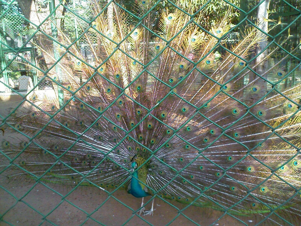 Peacock with its feathers open VOC Zoological Park Coimbatore