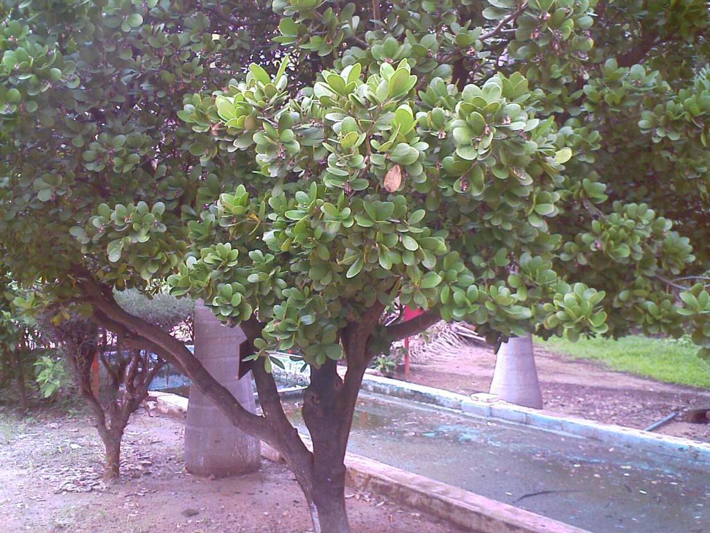 some tree in TNAU botanical gardens coimbatore
