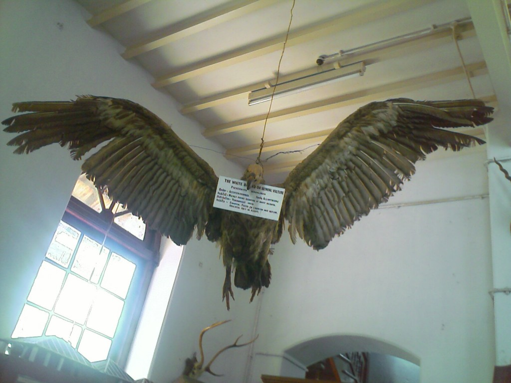 stuffed bengal vulture kept at the h a gass forest college museum coimbatore