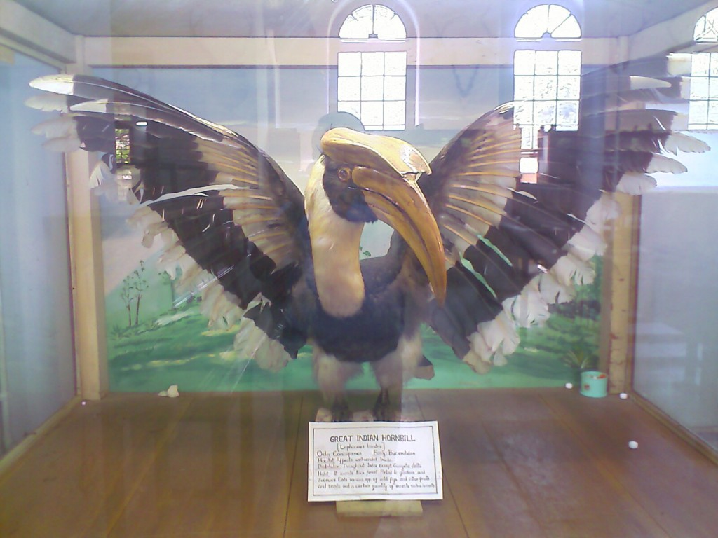 The Great Indian Hornbill - Stuffed photo in forest college coimbatore