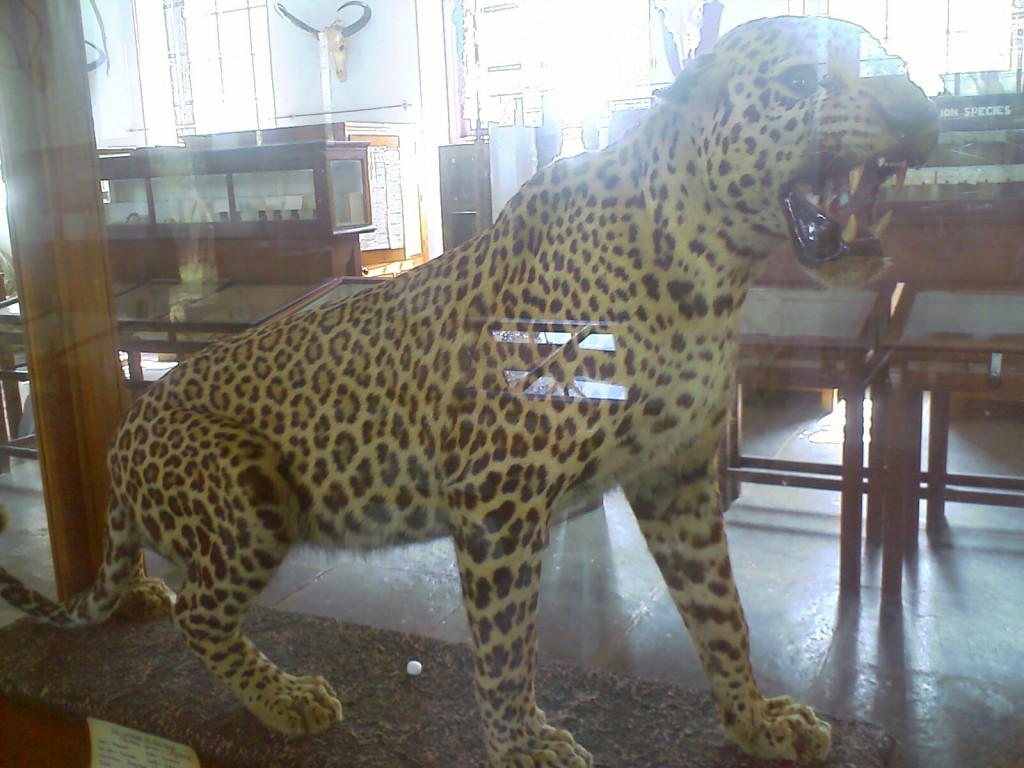 A stuffed leopard at H A Gass Forest Museum Coimbatore