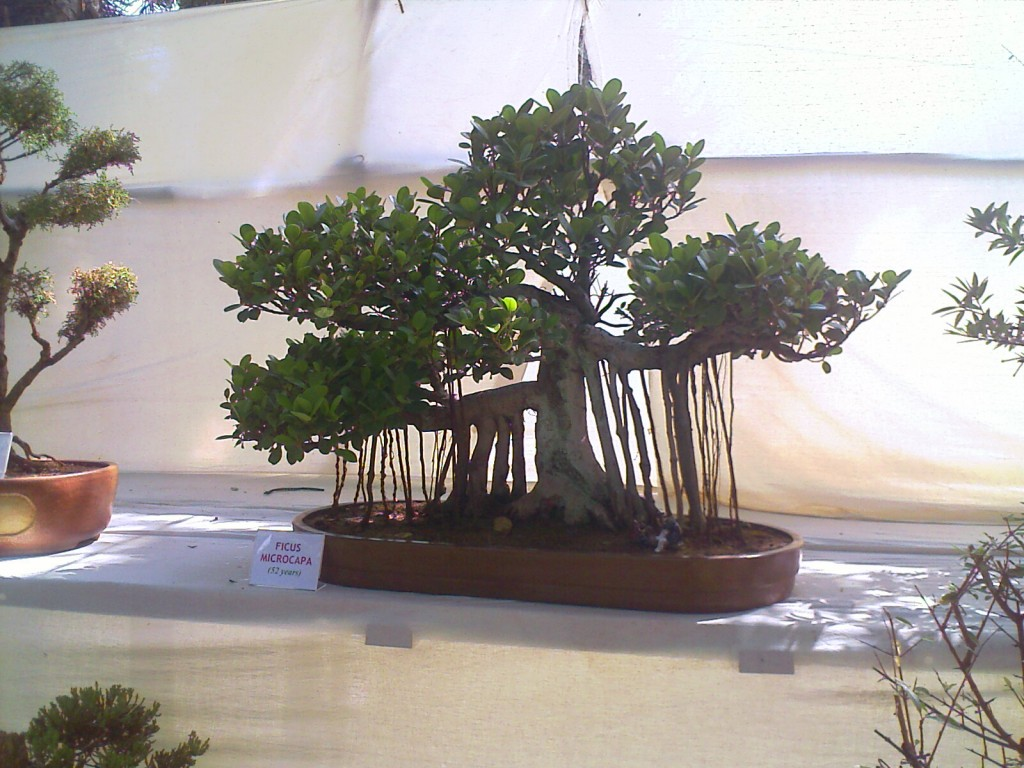 ficus microcapa a miniature tree kept at 2011 covai flower show at tnau botanical gardens