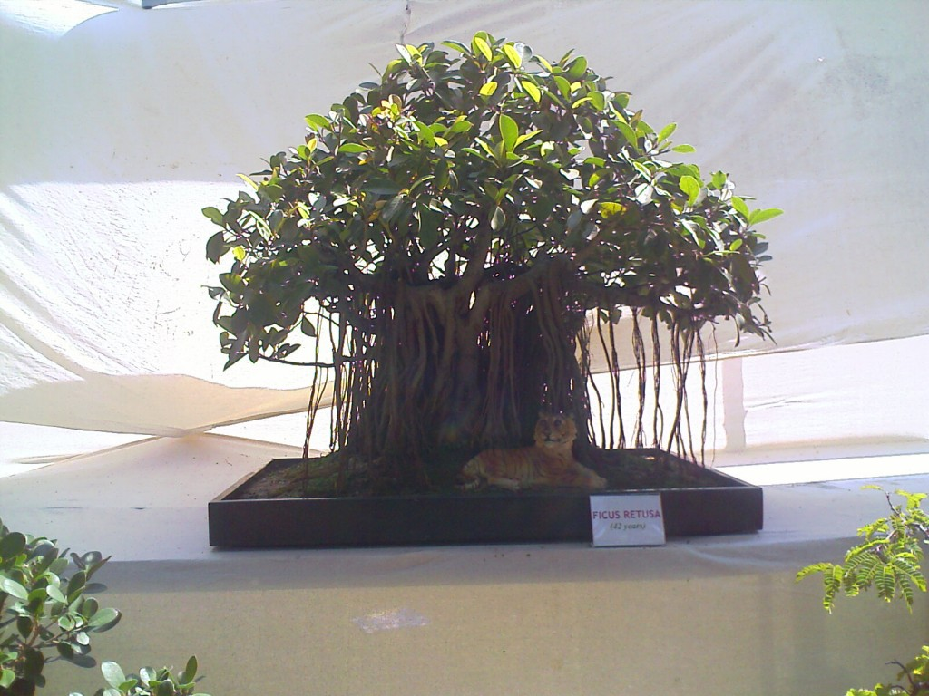 Ficus Retusa - 42 Year old miniature tree kept at covai flower show 2011 TNAU Botanical Gardens