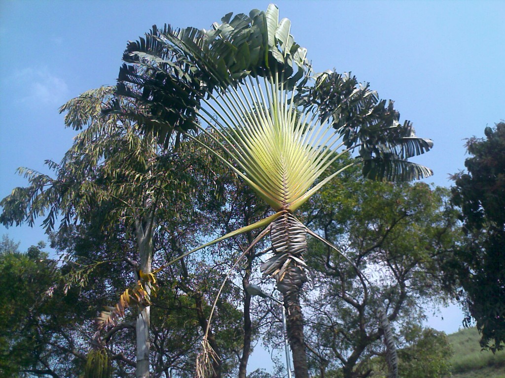 a stylish banana tree in aliyar park/ garden