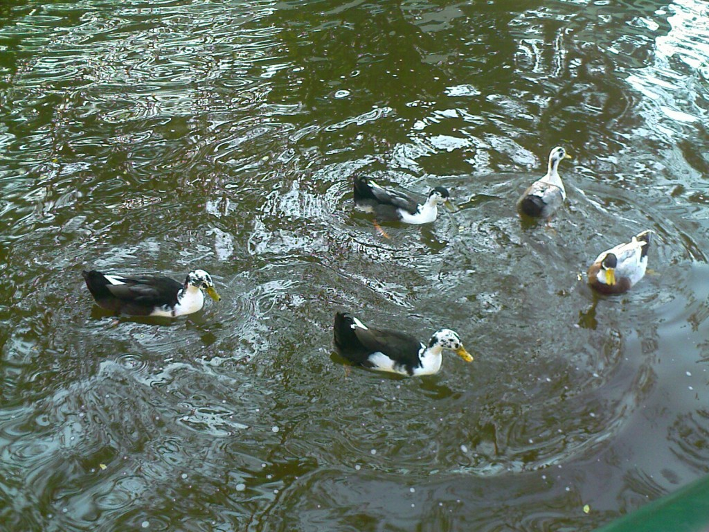 ducks in semmozhi poonga chennai