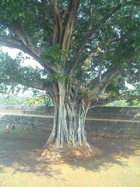 huge tree inside palakkad fort