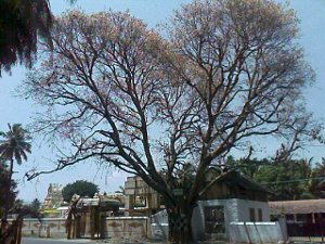 tree without leaves in front of a temple