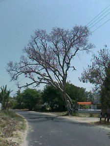 tree without leaves on the road