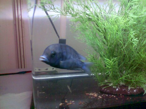 blue dolphin fish
